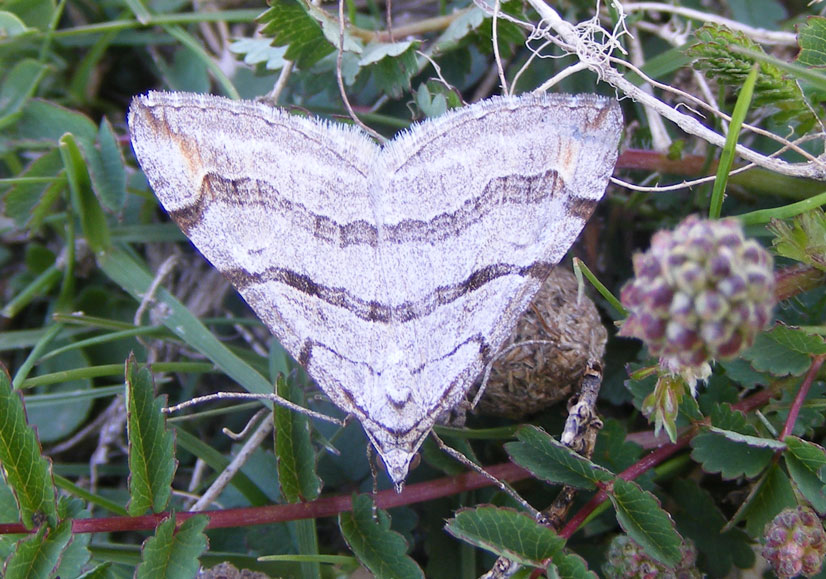 Treble-bar Moth on the lower slopes of Mill Hill