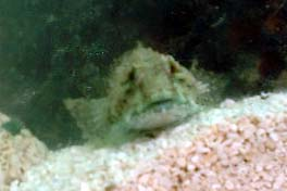 Bullhead in the Aquaria in the Adur WOD Marquee (Photograph by Ray Hamblett)