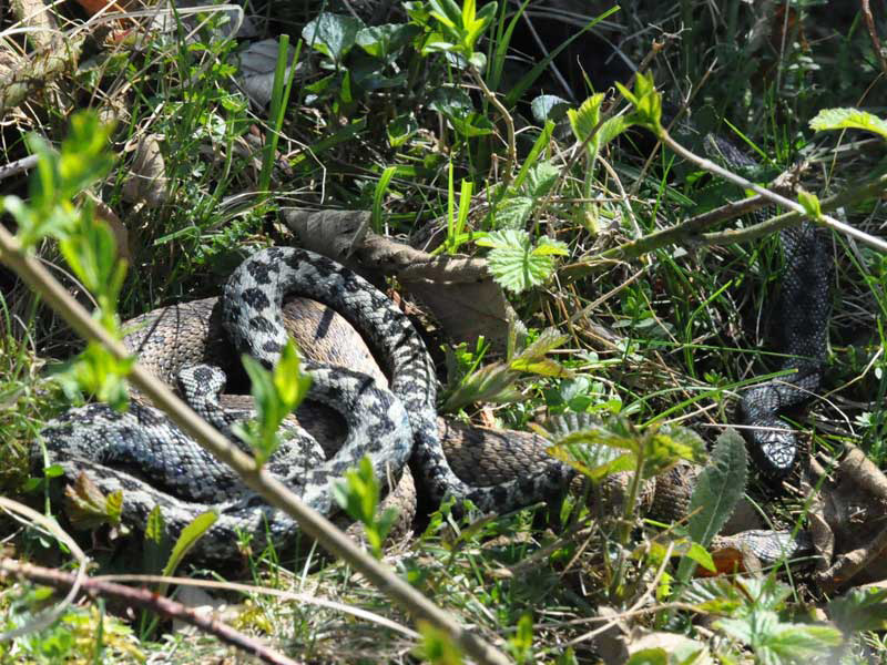Three Adders (Photograph by Colin Knight)