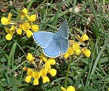 Adonis Blue Butterfly (Photograph by Katherine Hamblett)
