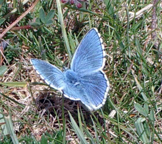 Adoonis Blue Butterfly (Photograph by Andy Horton)