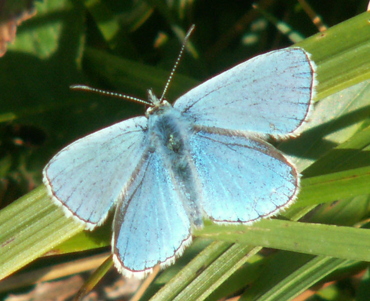 Adonis Blue on the Shoreham Bank (south)