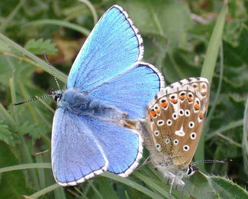 Adonis Blues (Photograph by Andy Horton)