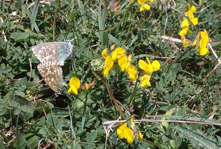 Adonis Blues and Horseshoe Vetch (Photograph by Andy Horton)