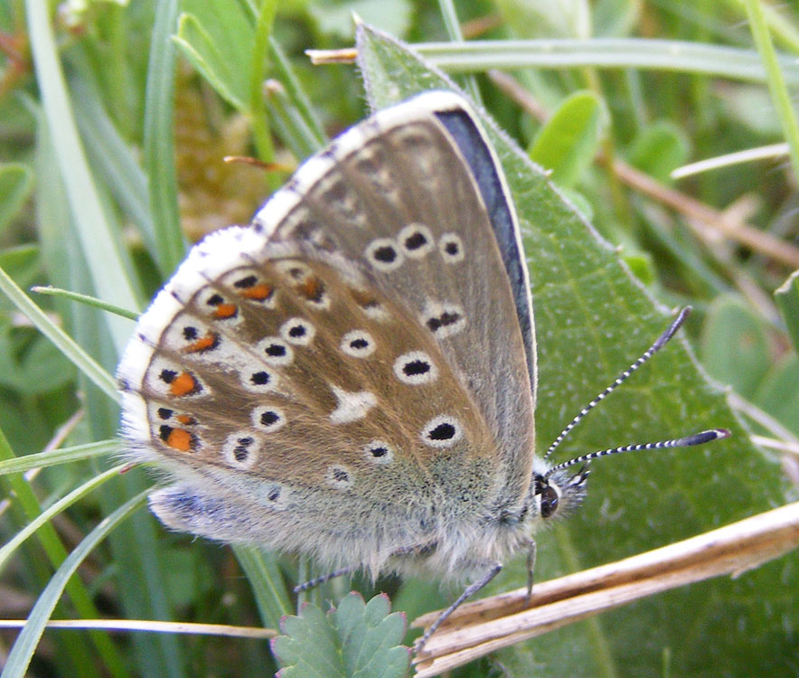 The first Adonis Blue of 2009