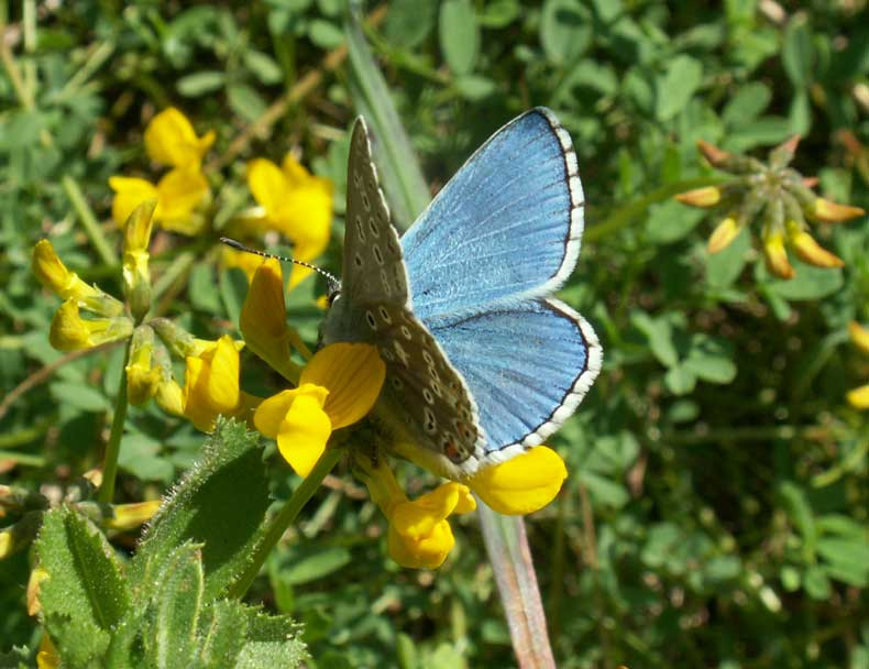 Adonis Blue on Horseshoe Vetch (not all in bloom yet)