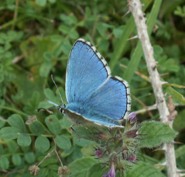 Adonis Blue Butterfly (second brood)
