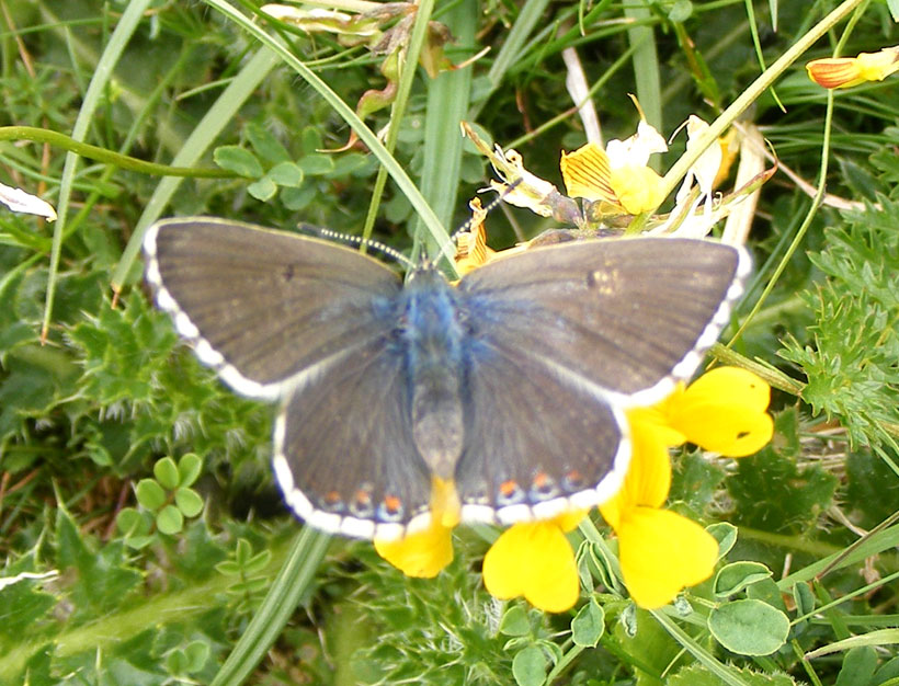Female Adonis Blue