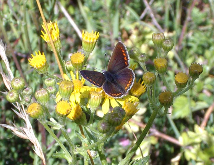 Brown Argus (Photograph by Andy Horton)