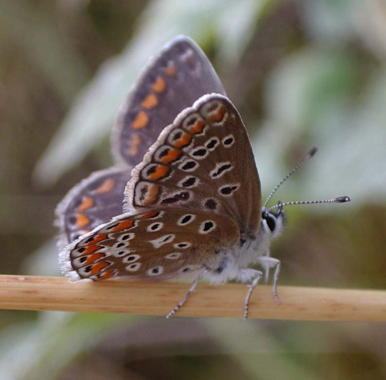 Female Common Blue (Photograph by Andy Horton)