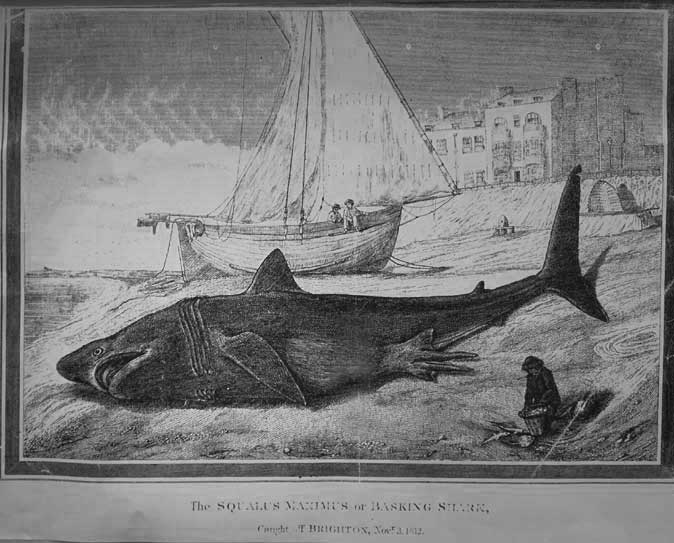 Basking Shark and Hog Boat at brighton (from a drawing in the Marlipins Museum, Shoreham), probably from a newspaper.