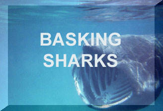 Link to the Basking Shark First web page