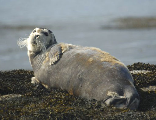 Bearded Seal (Photograph by Rob Baxter)