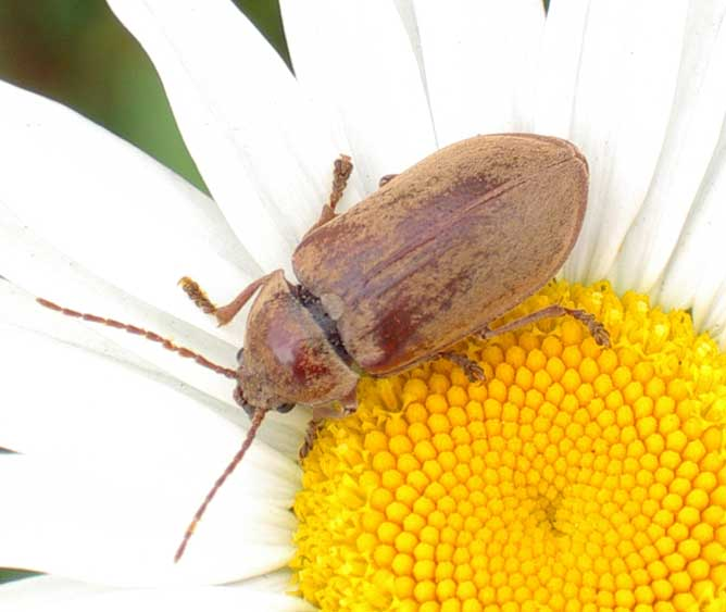 Beetle (or Weevil) on Ox-eye Daisy