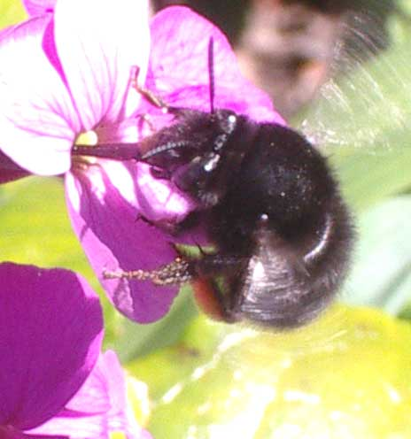 Black Bee-Fly
