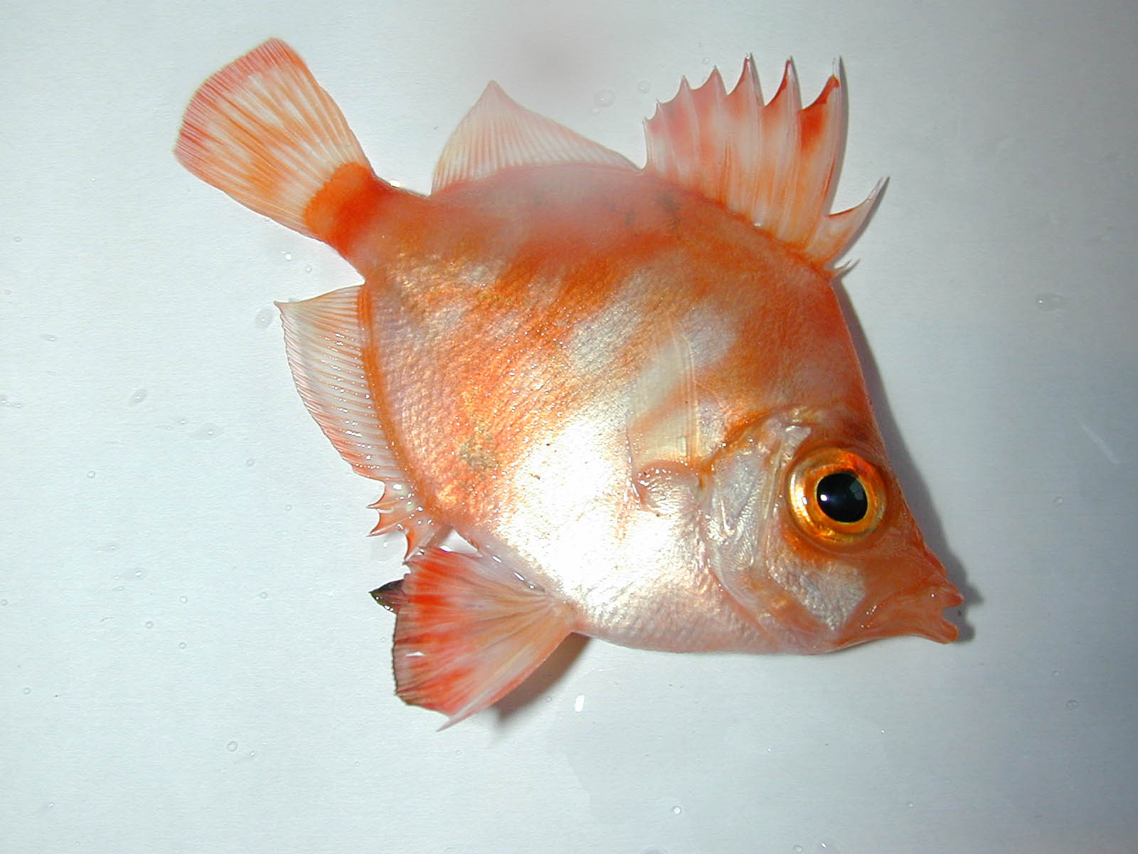 Boarfish from Hove (Photograph by Peter Weight)