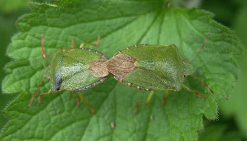 Common Green Shield Bugs, Palomena prasina