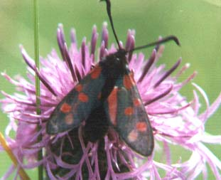 Burnet Moth (Photograph by Andy Horton)