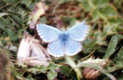 Adonis Blue (poor photograph by Andy Horton)