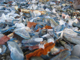 Velella massed on the high tide mark (Photograph by Eilir Daniels)