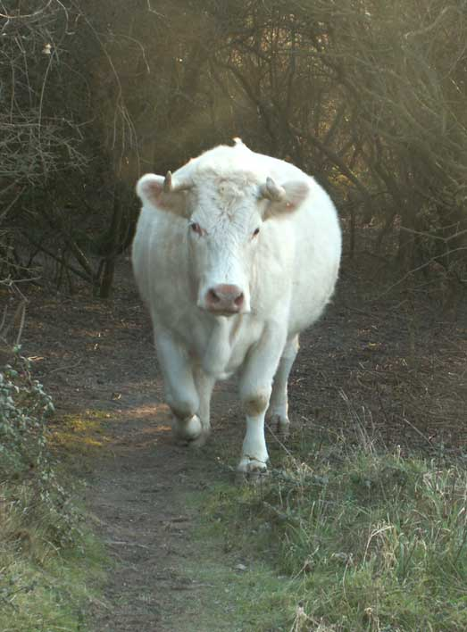 The cattle are mostly on the paths where they deposit their dung
