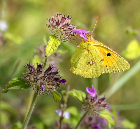 Clouded Yellow on Wild Basil