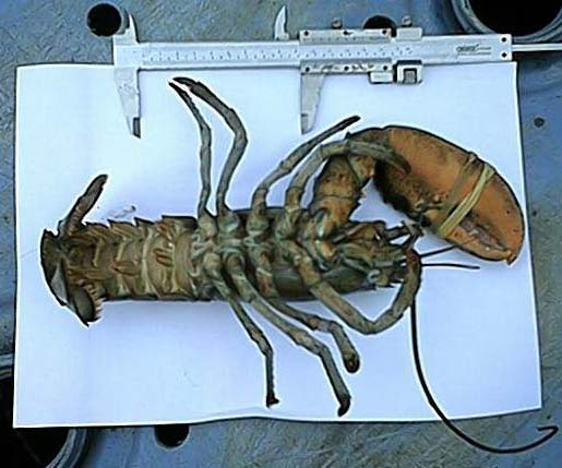 American Lobster (Sussex Sea Fisheries Committee photographs)