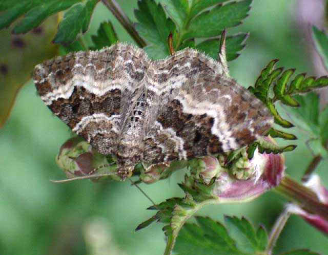 Common Carpet Moth (from the Dovecote Bank)