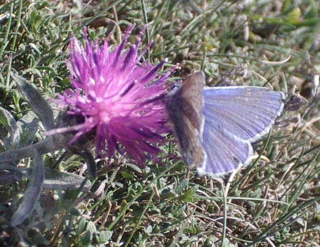 Common Blue Butterfly feeding on Stemless Thistle