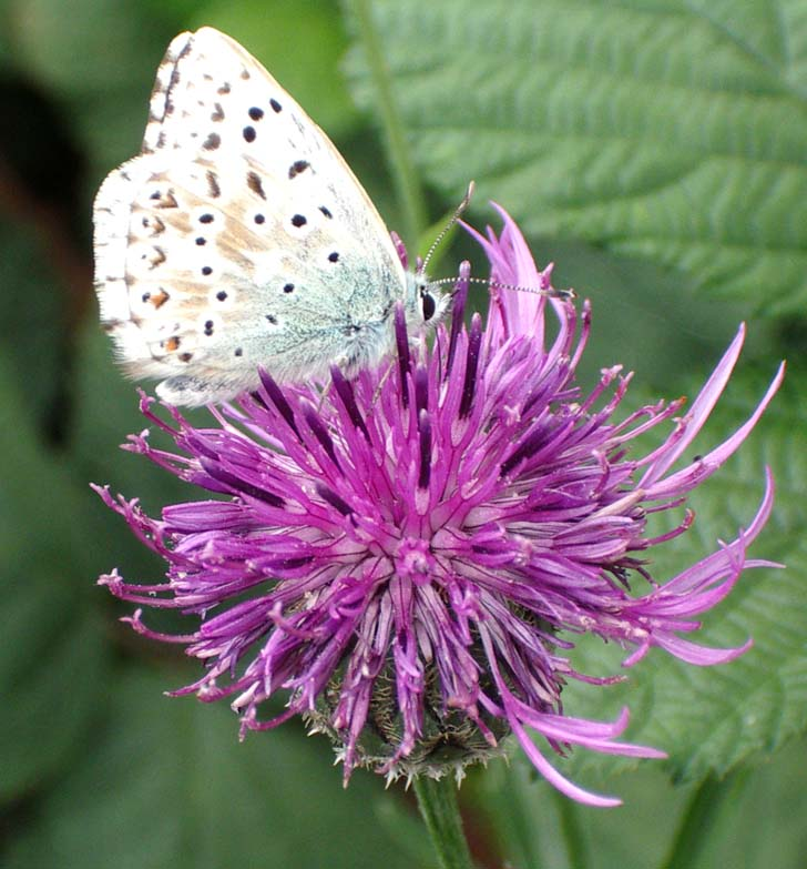 Chalkhill Blue Butterfly on Greater Knapweed