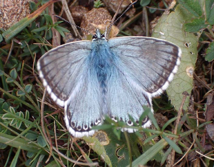 Chalkhill Blue on the lower slopes of Mill Hill (Photograph by Andy Horton)