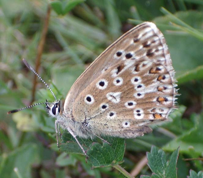 Female Chalkhill Blue