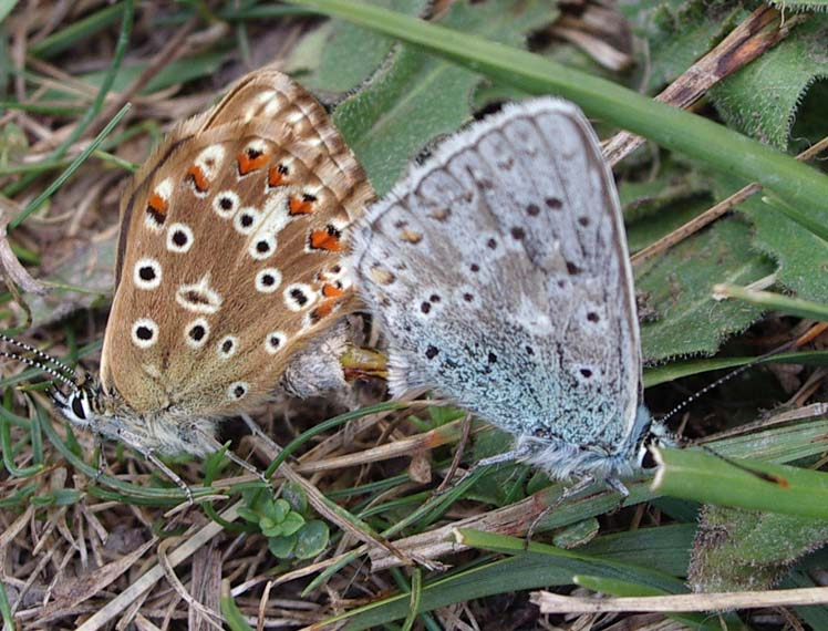 Chalkhill Blues (Photograph by Andy Horton)