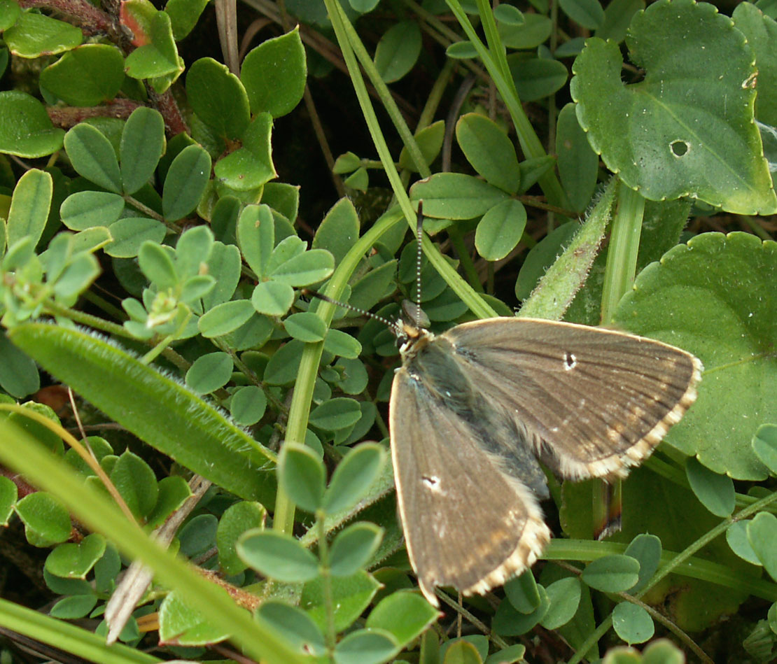 Female Chalkhill Blue on the Mill Hill Cutting.