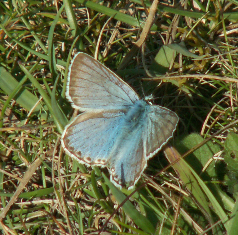Chalkhill Blue on the pasture at Old Erringham