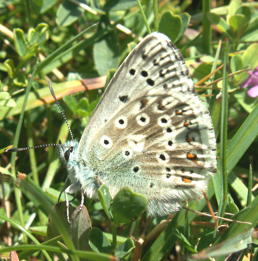 First Chalkhill Blue of 2007