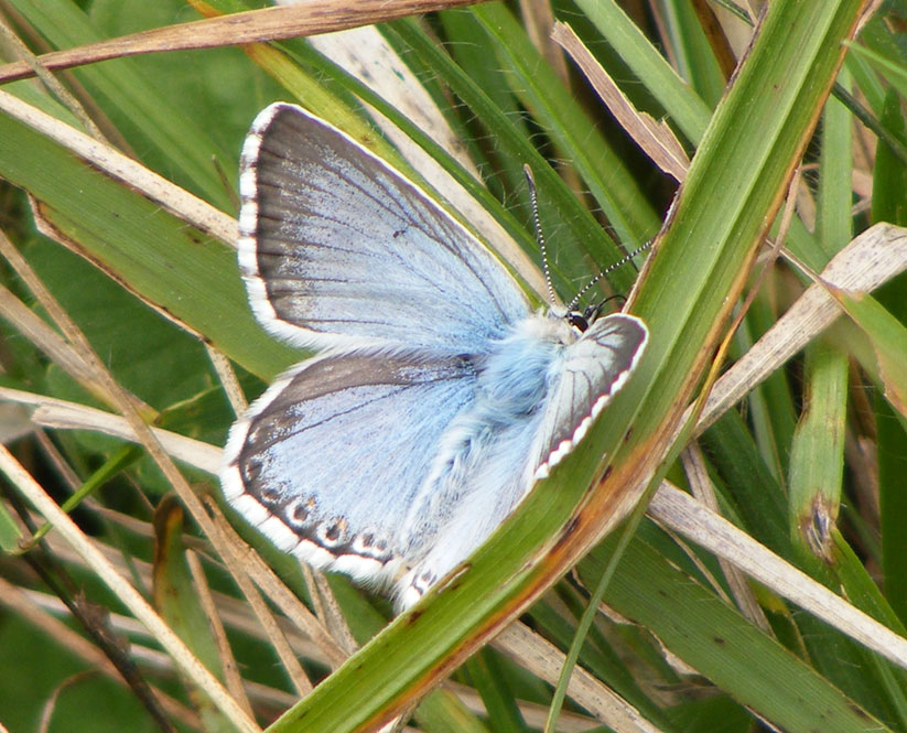 Chalkhill Blue (male)