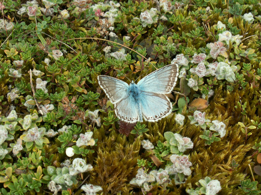 Chalkhill Blue from the Mill Hill Cutting (SW)
