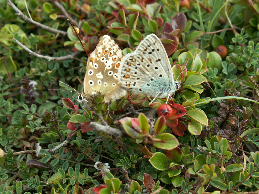 Chalkhill Blues on the Mill Hill Cutting