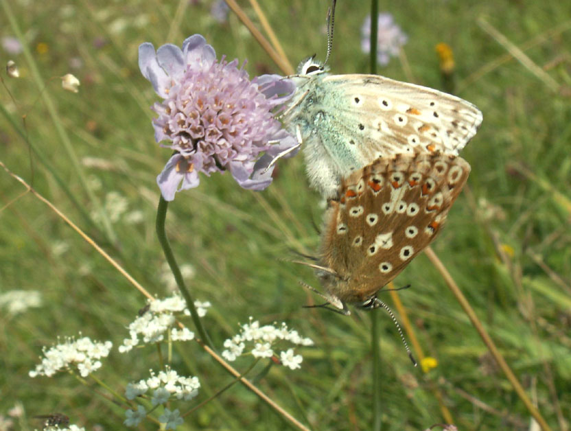 Chalkhill Blues on Small Scabious
