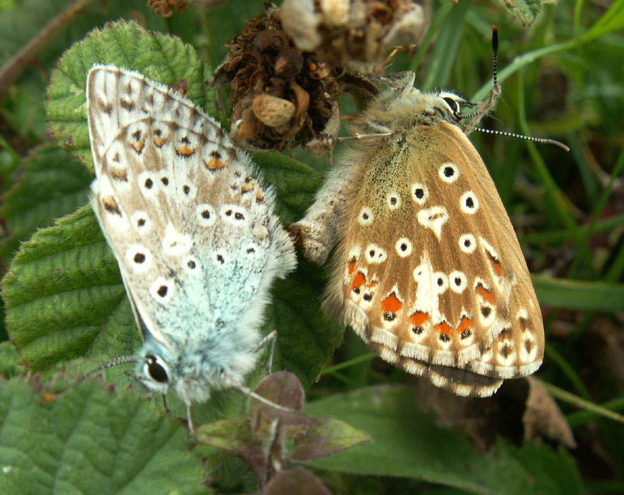 Chalkhill Blues mating