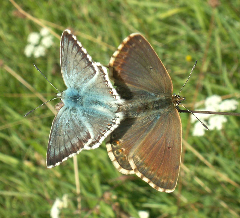 Chalkhill Blues mating over Anchor Bottom