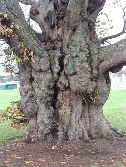 Trunk of the smaller of the two Chestnut Trees near the Bowling Green  in Buckingham Park