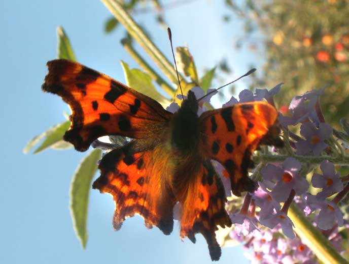 The relative brightest of the Comma often depends how the light catches the wings
