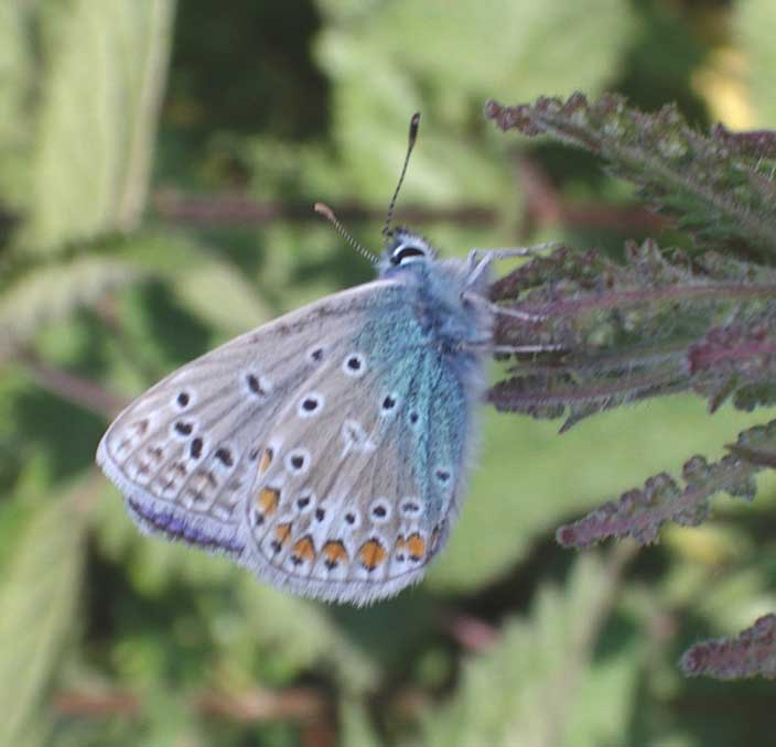 Common Blue Butterfly on the Waterworks Road (click on the image for a larger picture)