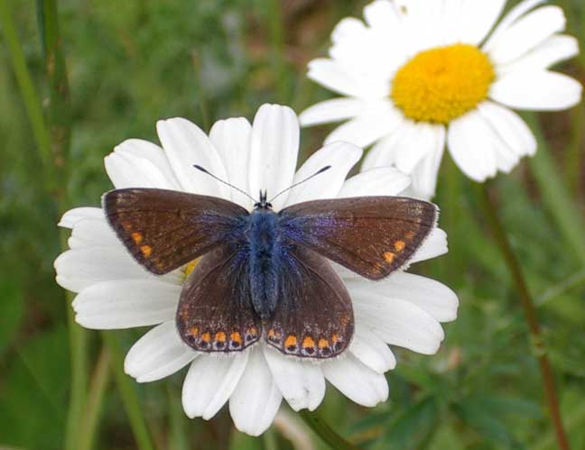 Female Common Blue on Ox-eye Daisy