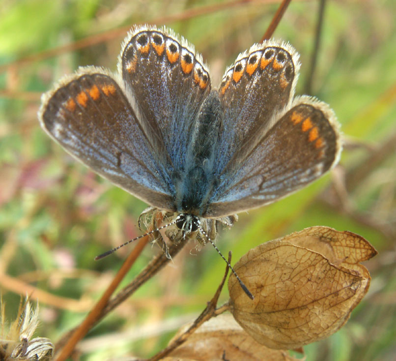 Common Blue female (unmistakable)