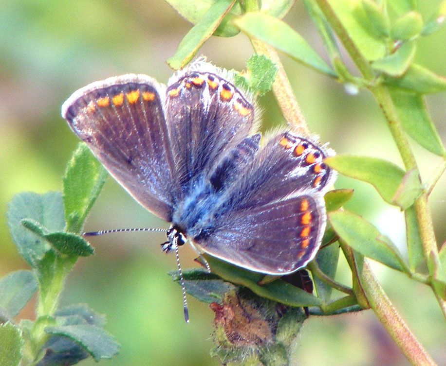 Female Common Blue (blue variant)