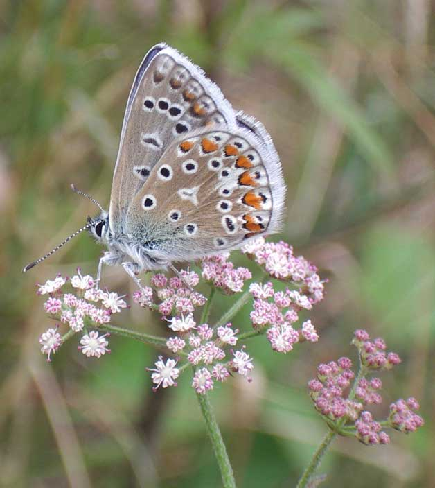 Common Blue on Wild Carrot
