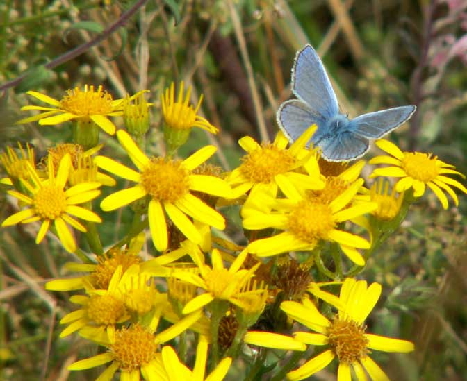 Common Blue male on Ragwort